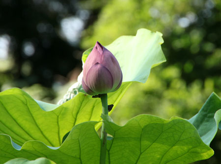 植物園 ハスが盛り_e0048413_17121517.jpg