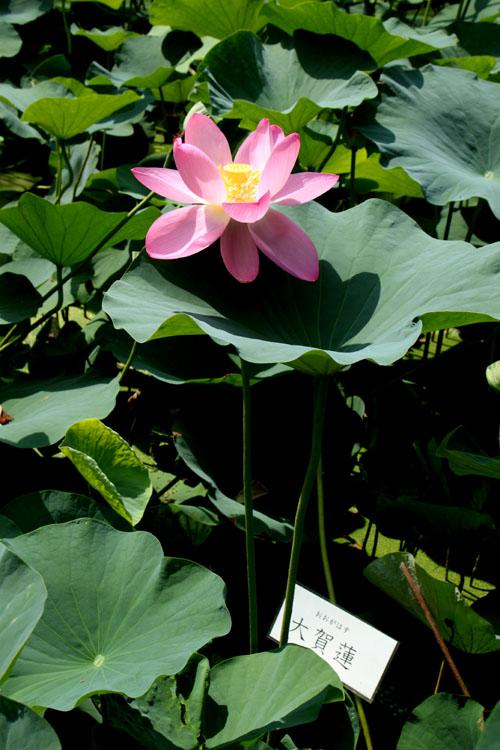 植物園 ハスが盛り_e0048413_17123332.jpg