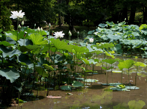 植物園 ハスが盛り_e0048413_17135368.jpg
