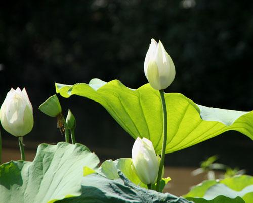 植物園 ハスが盛り_e0048413_17143929.jpg