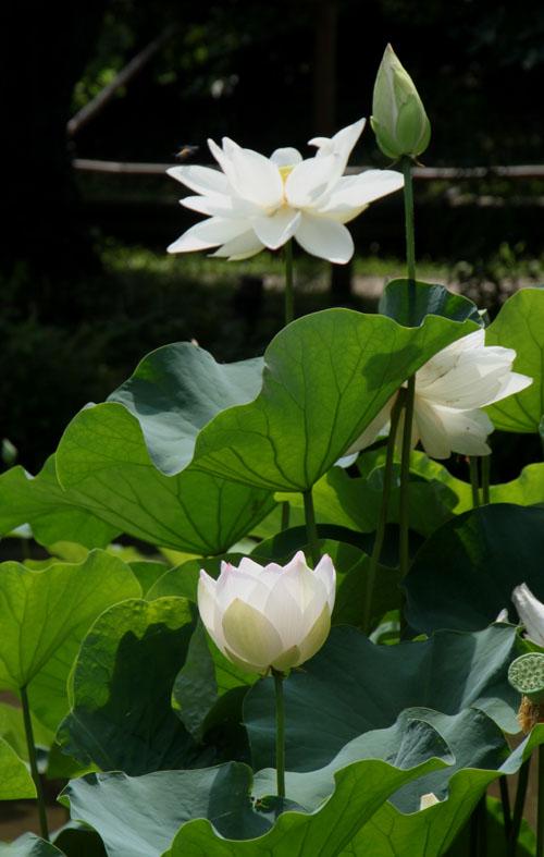植物園 ハスが盛り_e0048413_17145494.jpg