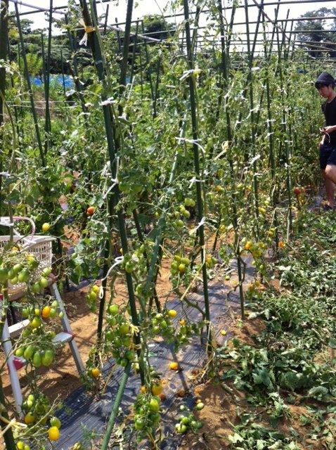 今朝はOさん&A氏とSさん、飯田でトマトの櫓の天井に棒を_c0222448_1248193.jpg