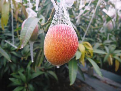 樹上完熟アップルマンゴー 煌(きらめき)はほんの1割の極選マンゴーなんです!!_a0254656_1730433.jpg