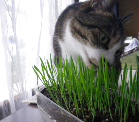 Huu&チョビ。猫草の復活など♪ _a0136293_16595649.jpg
