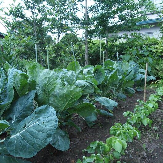 夕暮れ時の菜園_a0292194_12553151.jpg