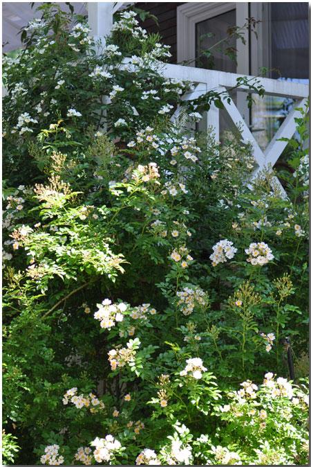 本日のシャレーグリンデル ガーデン 薔薇_d0109415_23211980.jpg