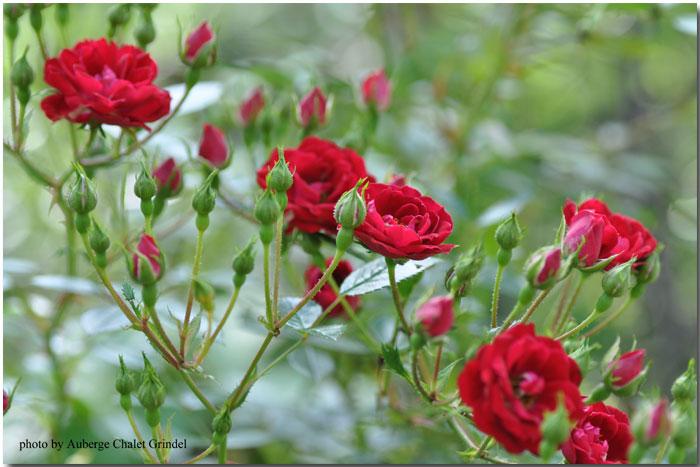 本日のシャレーグリンデル ガーデン 薔薇_d0109415_23213613.jpg