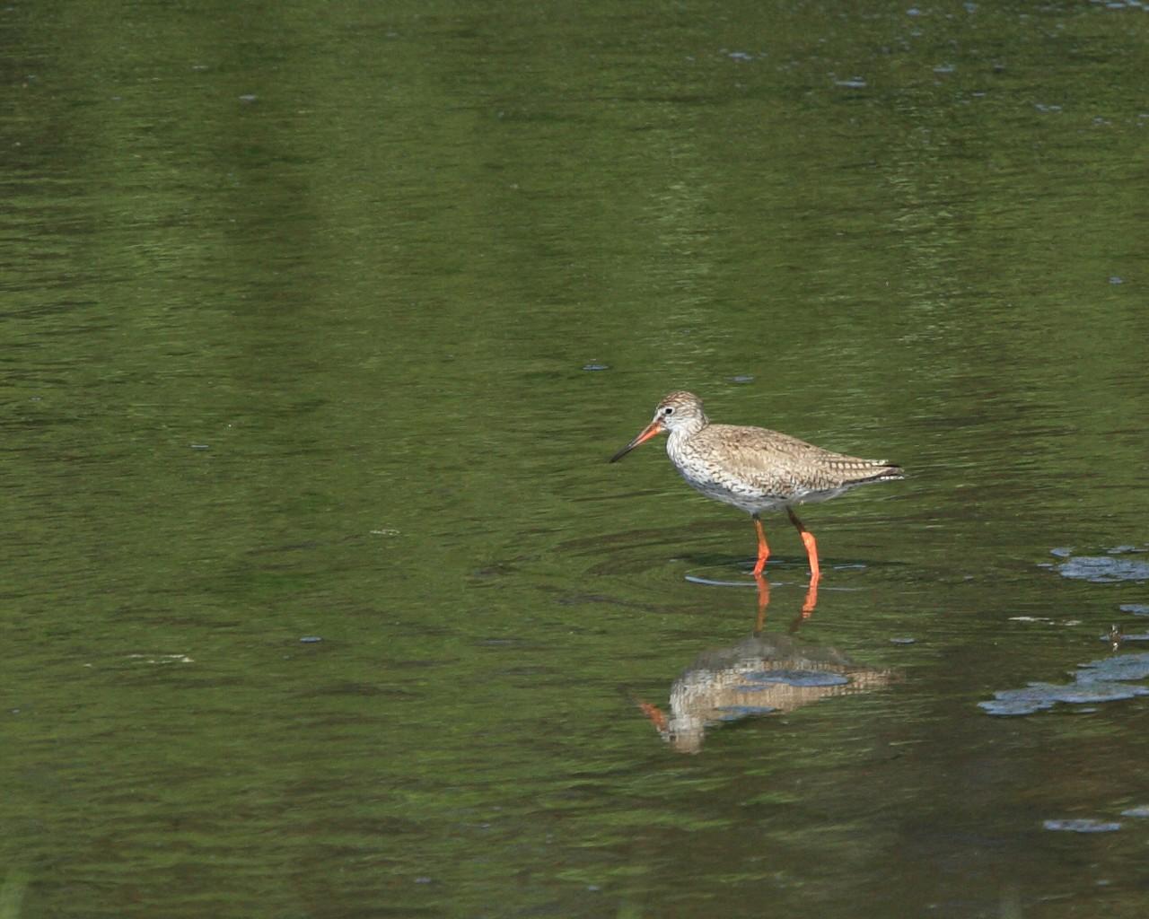 アカアシシギは遠目からでも紅い脚が目立ちます。_f0105570_214547.jpg