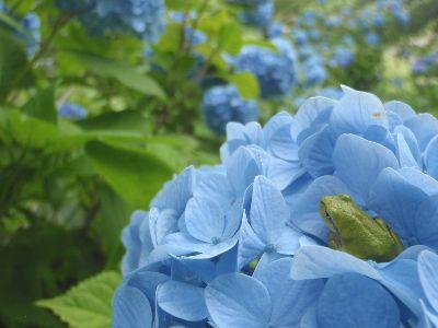 紫陽花でお花見_a0096989_18112045.jpg