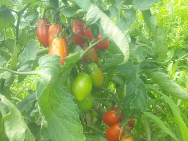 トマト、味噌きゅうり_a0138985_1903087.jpg