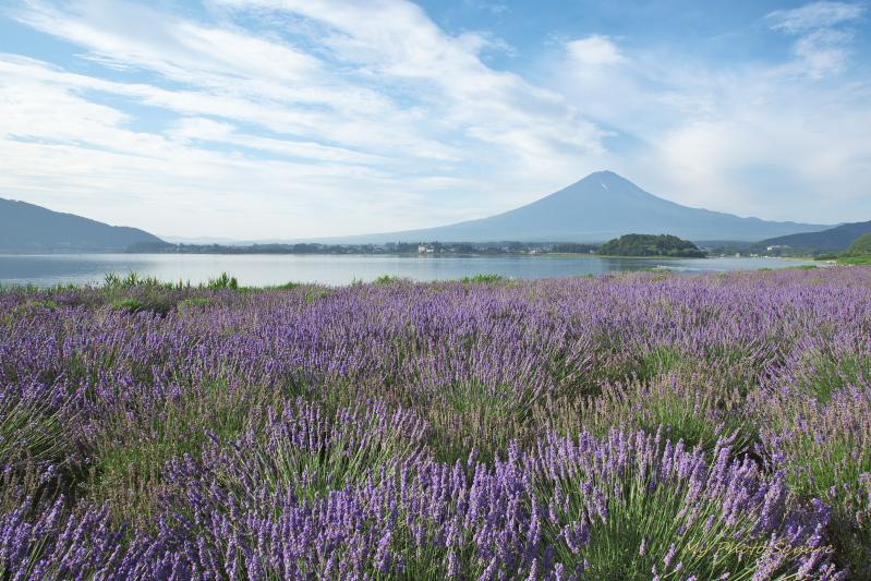 ラベンダーと富士山_c0167028_16395575.jpg
