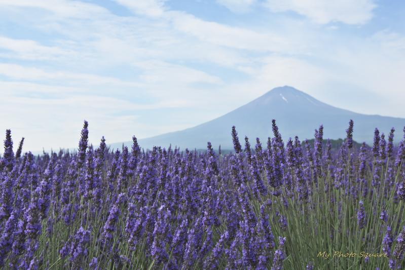 ラベンダーと富士山_c0167028_1640554.jpg