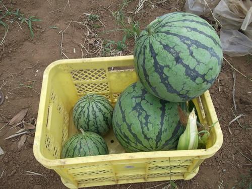 スイカの初収穫...味は数日後に!_b0137932_1955228.jpg