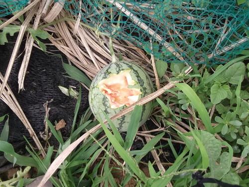 スイカの初収穫...味は数日後に!_b0137932_19553369.jpg