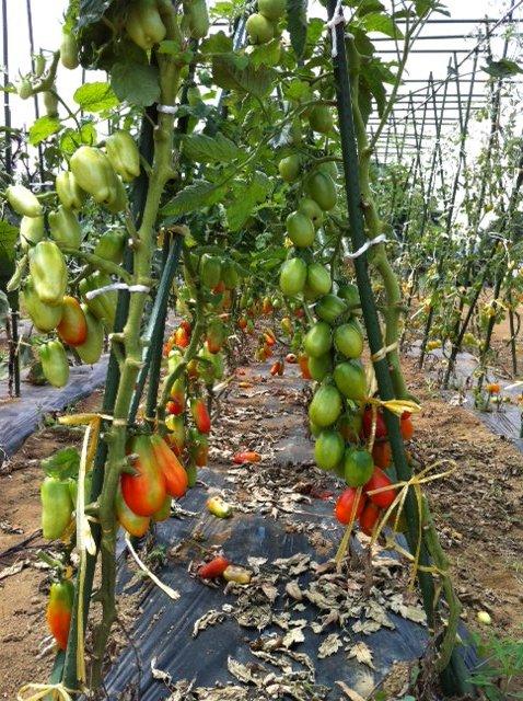 フィレンツェナスとパッキーノトマト調子に乗ってきました_c0222448_11481410.jpg