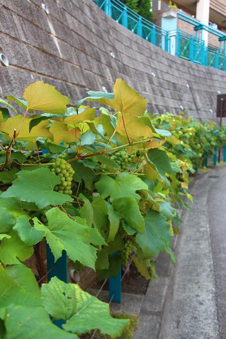 夏の庭・・・・・実りの秋を前に ♪  ♪_e0295348_22262100.jpg