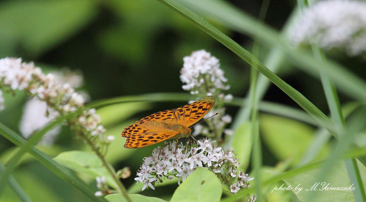 オカトラノオに集まる昆虫達_c0217255_19555732.jpg