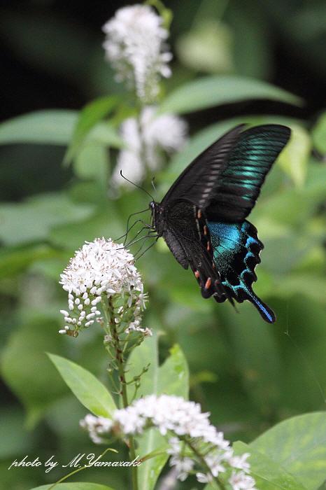 オカトラノオに集まる昆虫達_c0217255_1956161.jpg