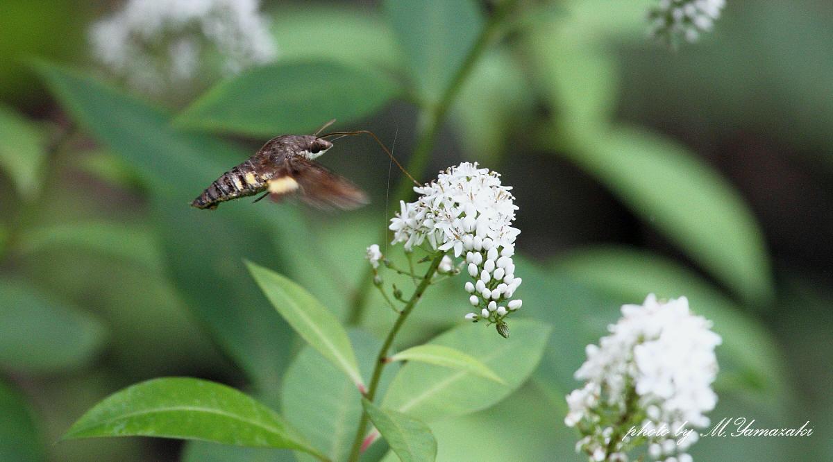オカトラノオに集まる昆虫達_c0217255_19565488.jpg