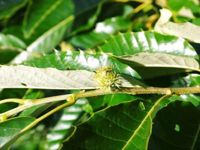 利平栗 栗の王様!今年も、自然栽培で順調に育っています!_a0254656_18114161.jpg