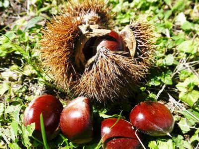 利平栗 栗の王様!今年も、自然栽培で順調に育っています!_a0254656_19175716.jpg