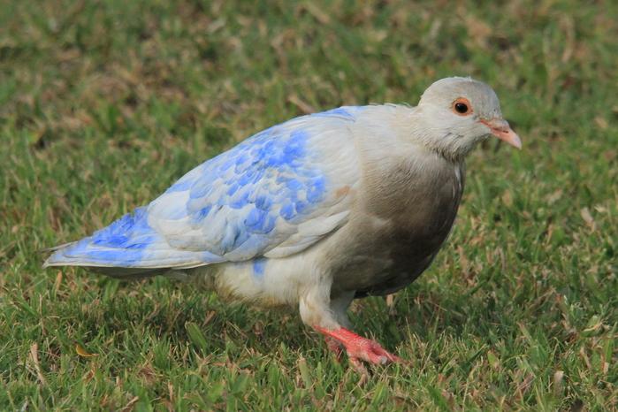 こんな色のドバトも居ました青いドバトなんて初めて見た!つづいてブンチョウ... ハワイ旅行記 ~
