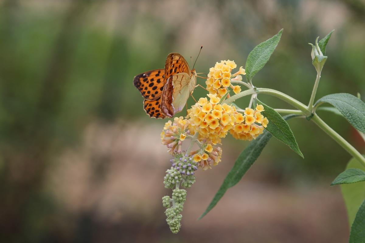 ブッドレアに訪花するウラギンスジヒョウモン_b0189231_1954318.jpg
