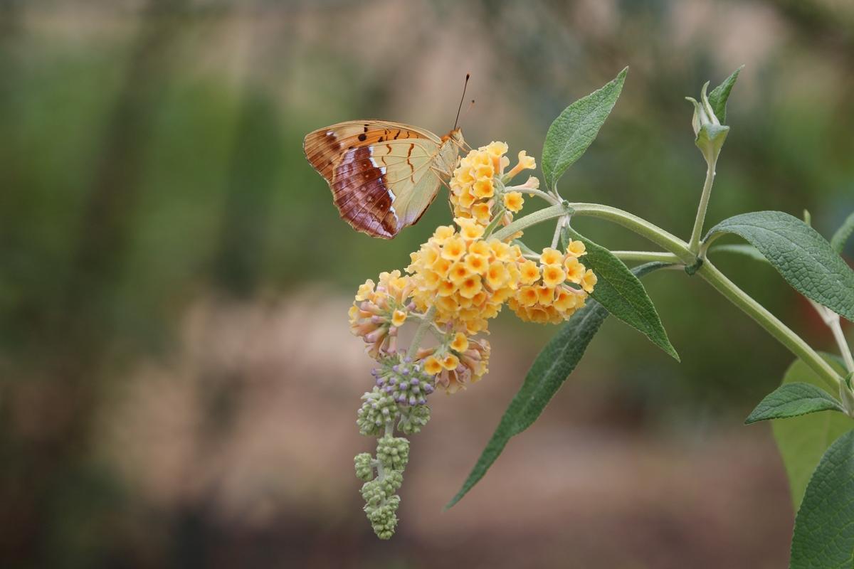 ブッドレアに訪花するウラギンスジヒョウモン_b0189231_19545265.jpg
