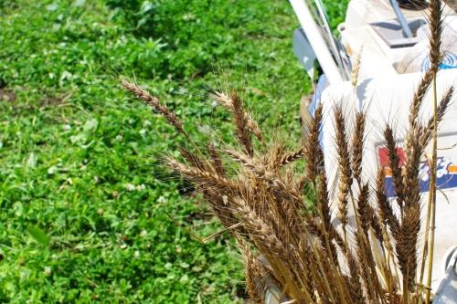 小麦2013の収穫_c0110869_15291397.jpg