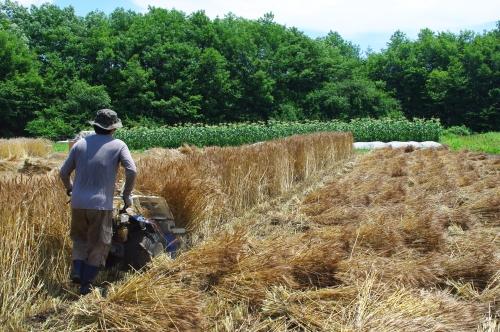 小麦2013の収穫_c0110869_15292616.jpg