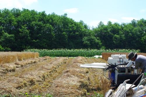 小麦2013の収穫_c0110869_15293574.jpg