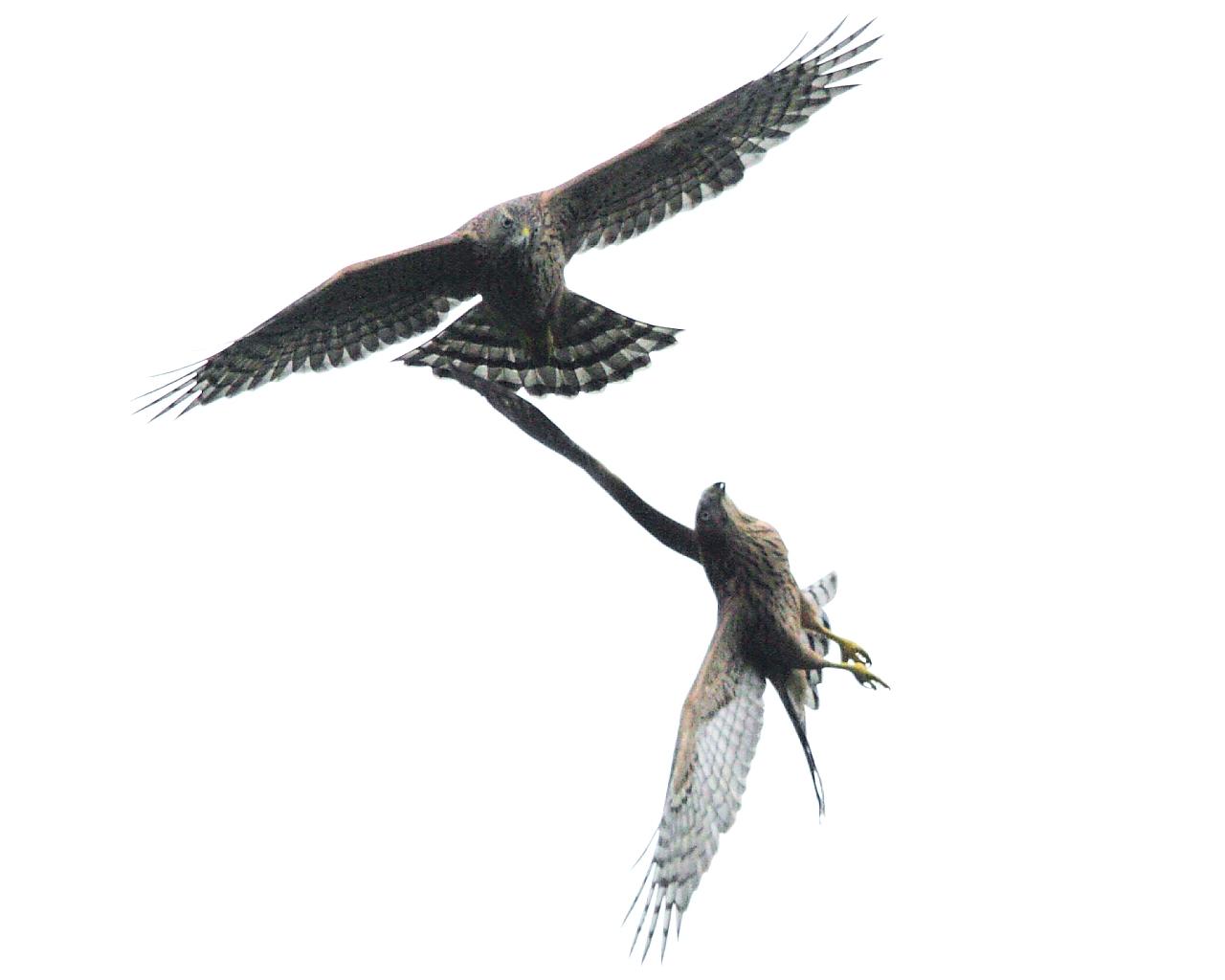 オオタカ若鳥が2羽で飛行練習_f0105570_21205334.jpg