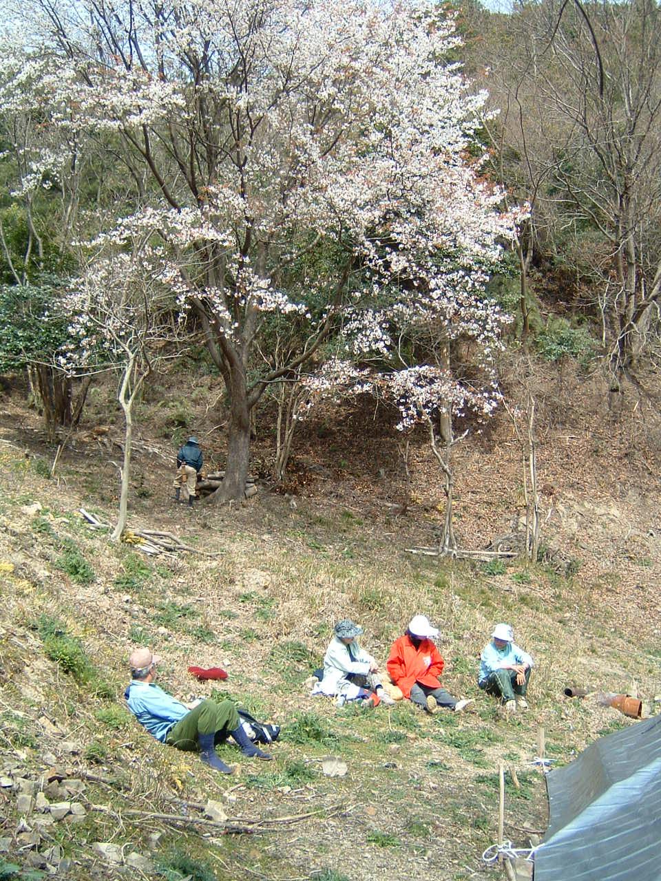 孝子の森の広場の桜_c0239329_1375812.jpg
