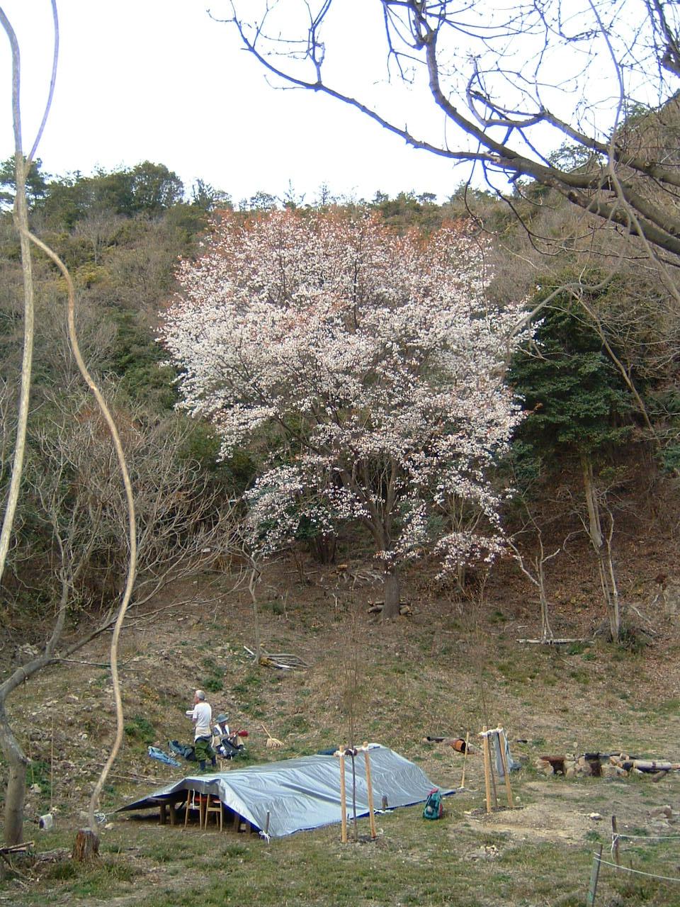 孝子の森の広場の桜_c0239329_1383575.jpg