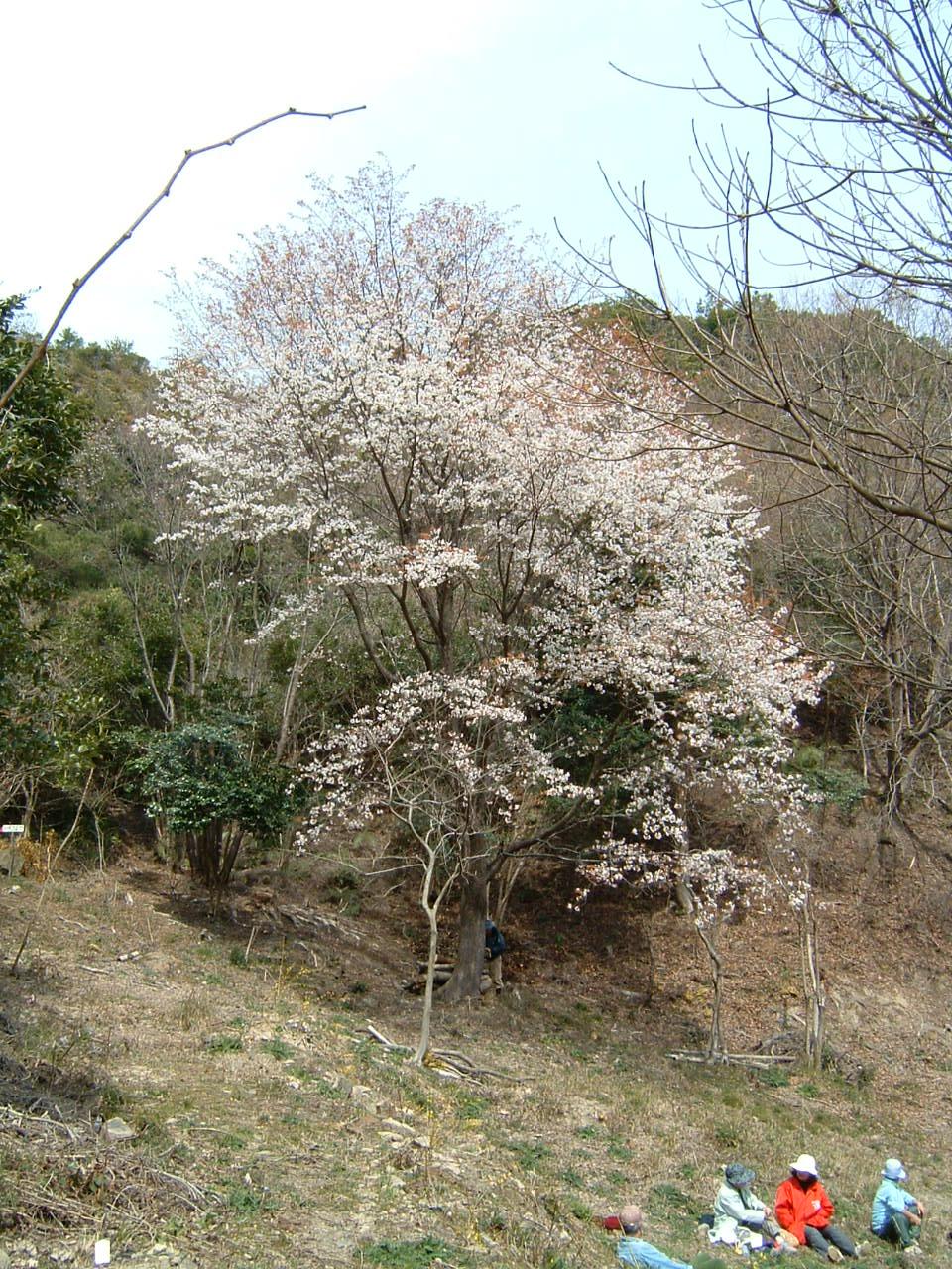 孝子の森の広場の桜_c0239329_138799.jpg