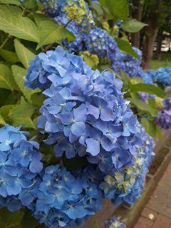 blog:夏の紫陽花_a0103940_1045322.jpg
