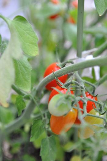 収穫の時(今日は、長話にお付き合いしてください)_f0207664_4533466.jpg