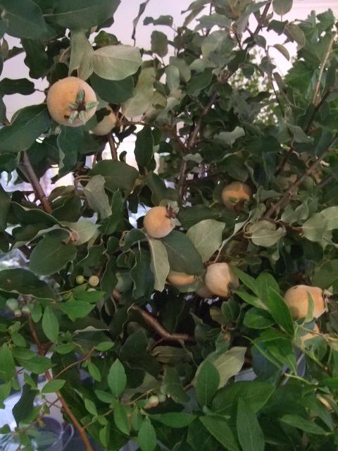 オークリーフ(姿の良いオリーブの木)_f0049672_11252325.jpg
