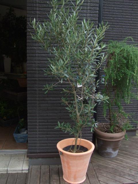 オークリーフ(姿の良いオリーブの木)_f0049672_1131176.jpg