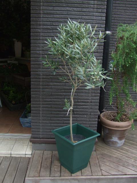 オークリーフ(姿の良いオリーブの木)_f0049672_1131793.jpg
