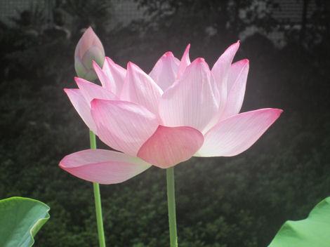散歩を楽しく/お彼岸、霊園、そして蓮の花_d0183174_19449.jpg