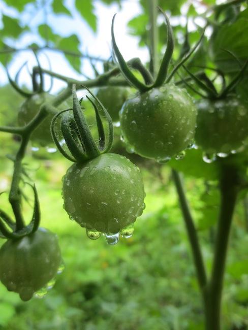 夏野菜の始まり_d0231263_22442196.jpg