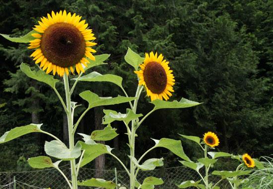 菜園 夏の花2_e0048413_22105338.jpg