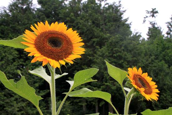 菜園 夏の花2_e0048413_221142.jpg