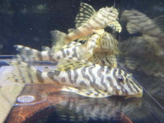130718 熱帯魚・水草_f0189122_1305349.jpg