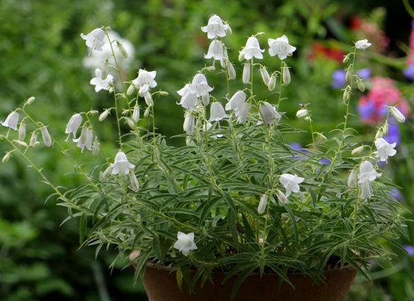 白花ヒメシャジンとミツバチ♪_a0136293_15505687.jpg