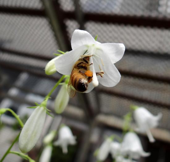白花ヒメシャジンとミツバチ♪_a0136293_15533477.jpg
