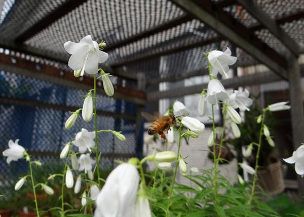 白花ヒメシャジンとミツバチ♪_a0136293_1555818.jpg