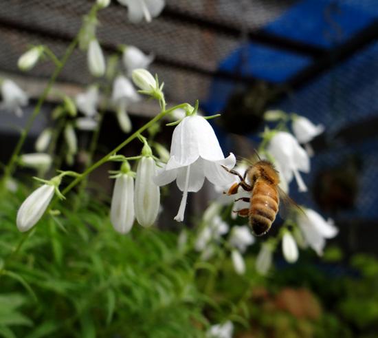 白花ヒメシャジンとミツバチ♪_a0136293_15564650.jpg