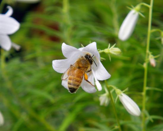 白花ヒメシャジンとミツバチ♪_a0136293_15573462.jpg